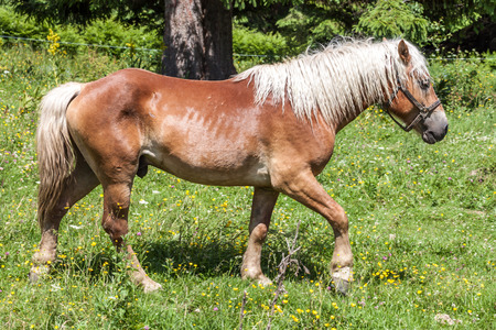 animal hair: Haflinger horse in a meadow Stock Photo