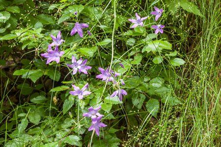 geranium color: Bulgarian geranium blooming in the wild