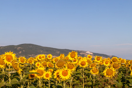 ot: Field ot sunflowers with mountains in the background Stock Photo