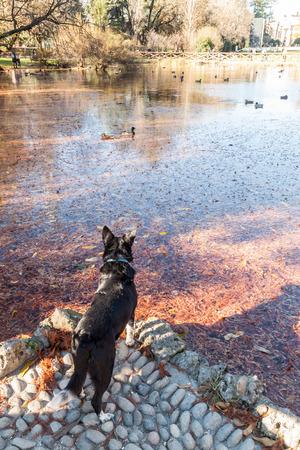 vogelspuren: Hund beobachten Enten schwimmen in einem See