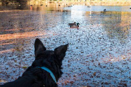 keep an eye on: Dog watching ducks swimming in a lake