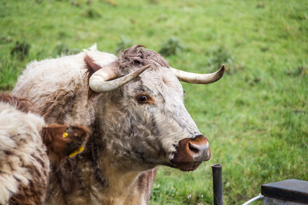 longhorn cattle: English longhorn cattle in a meadow