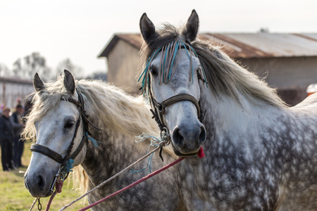 appaloosa: Portrait of a male and female white spotted horses