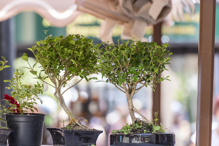 Bonsai trees in a pot outside Stock Photo