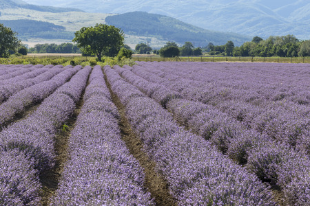 Symmetrical rows of a lavender flower in a sunny afternoon. Stok Fotoğraf