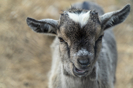 Portrait of a small and cute baby goat looking at the camera