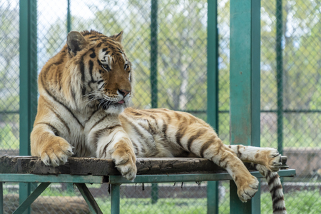 Big bengal tiger laying down on a wooden platform Banco de Imagens - 124563764