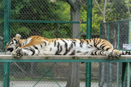 Big bengal tiger laying down on a wooden platform