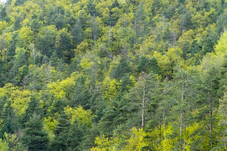 Mixed deciduous and coniferous forest with amazing colors