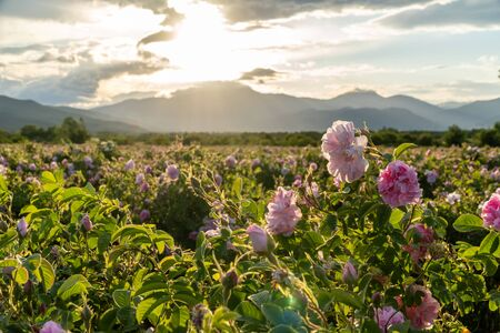 Closeup of bulgarian pink rose during sunset in a field located in the Thracian valley in Bulgaria