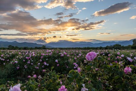 Amazing sunset over the pink rose valley in Bulgaria. Endless rows of rose bushes with a mountain range in the background. Standard-Bild