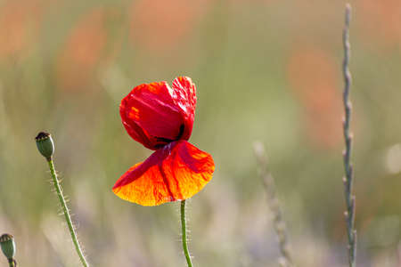 Closeup of a poppy flower in a garden during sunset Stock Photo