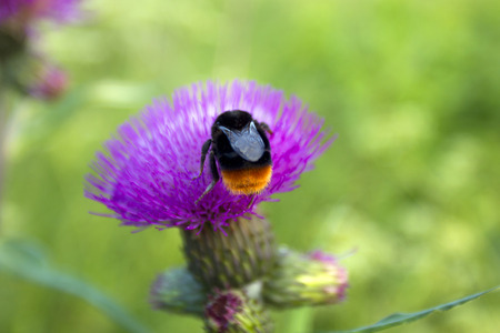 bee on a flower thistle photo
