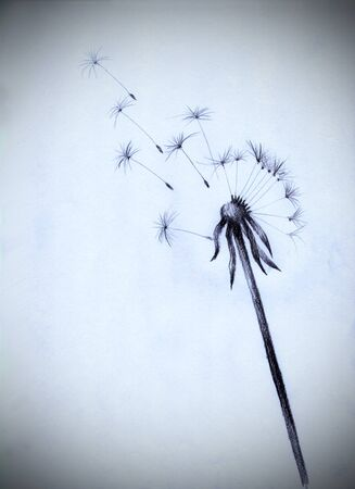 fragile peace: fluff of a dandelion flower seeds