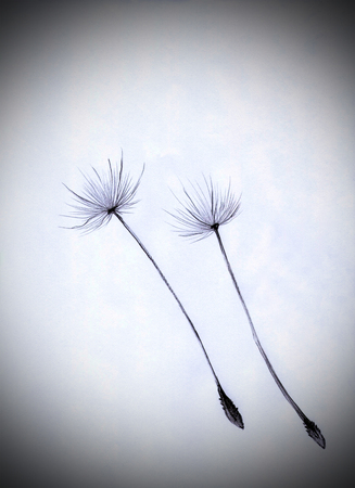 posterity: dandelion seeds in free flight