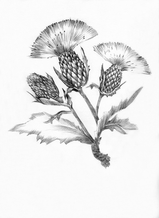 herbalist: thistle flower drawn with a pencil
