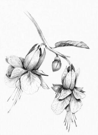 fuchsia flower drawn with a pencil
