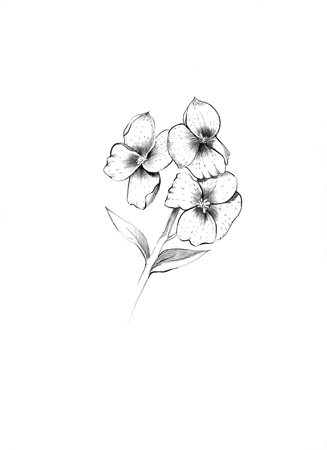 wallflower: Flower English wallflower in pencil