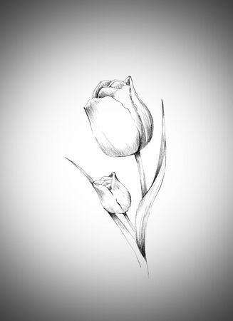 tulipan: piękny kwiat tulipan rysowane ołówkiem