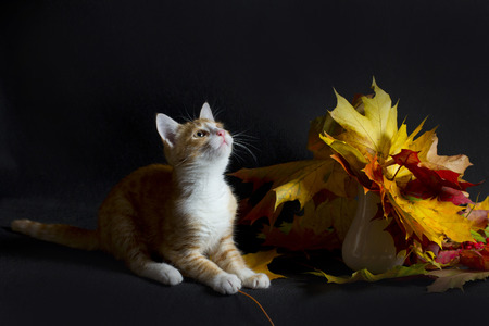 red kitten and autumn bouquet of bright leaves Imagens