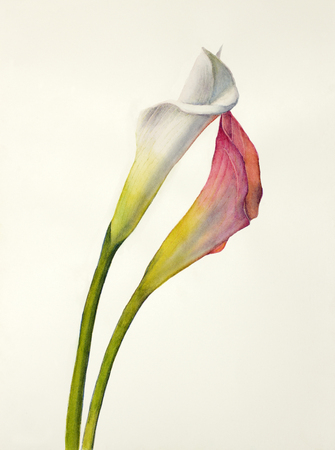 two flowers callas white and pink Stock Photo