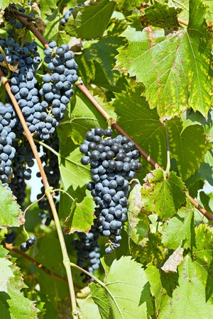Bunches of dark grapes on a background of green grape leaves.