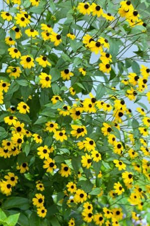 Blooming yellow flowers large shrub rudbeckia Stock Photo