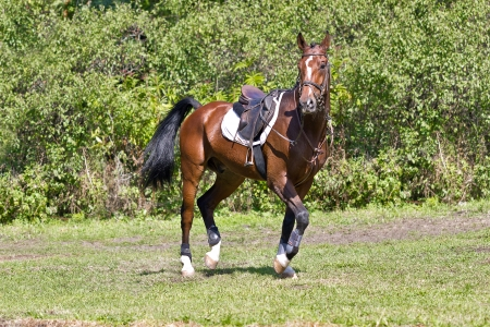 Beautiful bay horse under saddle on forest background