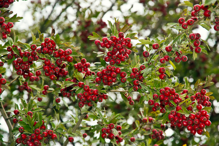 Red hawthorn fruit on the background of green leaves
