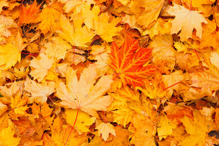 Background from maple leaves, yellow, orange, red. Stock Photo