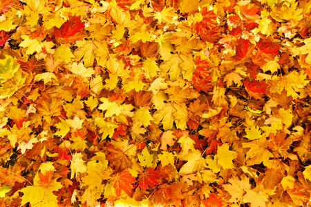 Background from autumn maple leaves, yellow, orange, red. Stock Photo