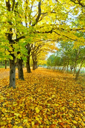Alley of maples and yellow fallen leaves Stock Photo