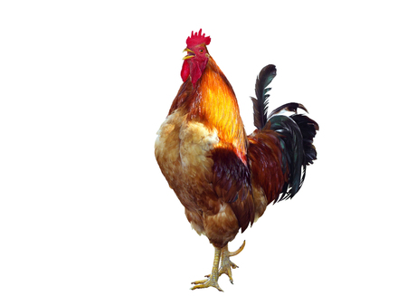 Big red rooster singing on a white background.