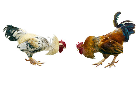 Two fighting cocks, white and red on a white background. Stock Photo
