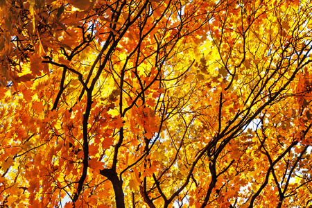 Maple branches of with yellow, orange and red leaves.