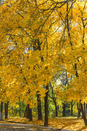 Old maple trees with yellowing leaves in autumn park.