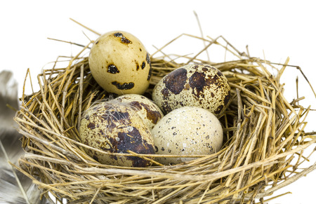 quail nest: Motley quail eggs in a nest of grass on a white background. Stock Photo