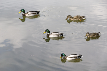 drakes: Wild ducks and drakes floating in the lake.