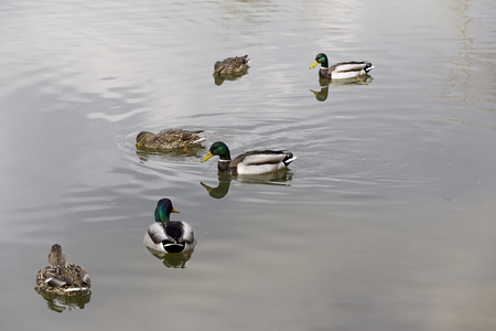 drakes: Wild ducks and drakes pairs of swimming in the lake. Stock Photo
