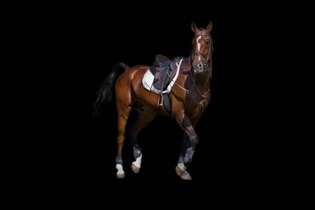 Horse under saddle brown color on a black background.