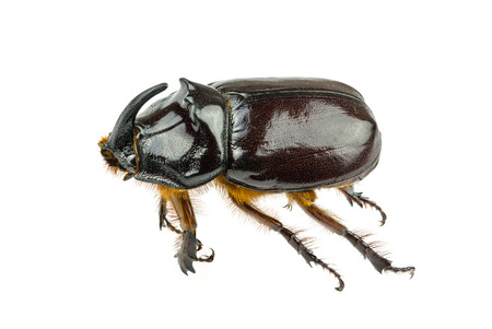 Large brown beetle with horns on a white background. Stock Photo
