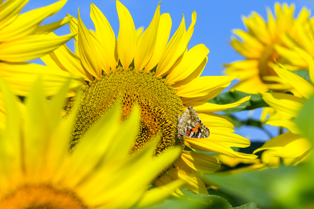 Blooming sunflower with him seated on a colorful butterfly.