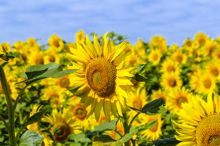Beautiful blooming sunflowers in the field.