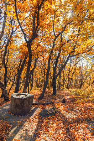 Autumn forest with yellow and red leaves and tree stump of an old tree.