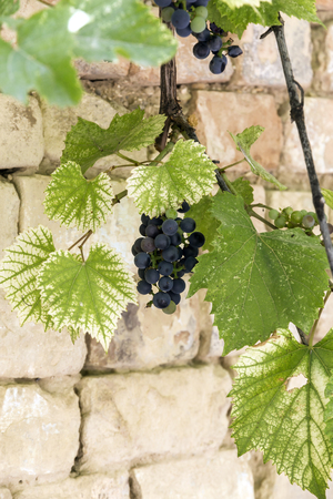 Bunches of ripe grapes among green leaves. Stock Photo