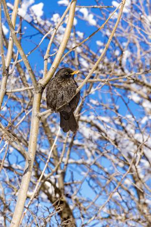 Songbird with gray feathers and yellow beak in the bush against the sky.