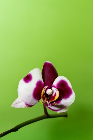 Flowers of orchid on the isolated background Stock Photo