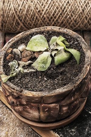 needing: fading without water houseplant needing care Stock Photo