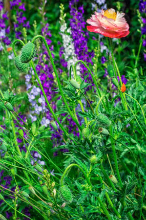 herbage: bright poppy flower on the flower meadow background