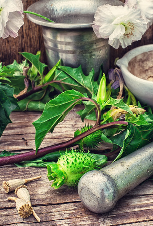 hallucinogen: Stems of herbaceous medicinal plants genus Datura Nightshade family with poppy seeds on the background mortar with pestle.Selective focus